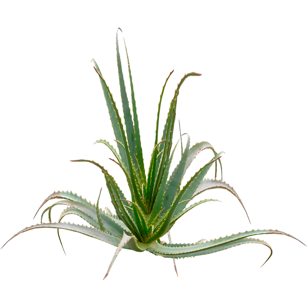ALOE ARBORESCENCES PLANT. OVER 5 YEARS AGE