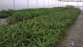 Aloe_Arborescens_nursery